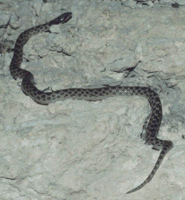 night snakes